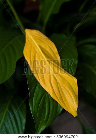 One Yellow Withered Leaf On Decorative Home Plant Called Spathiphyllum.