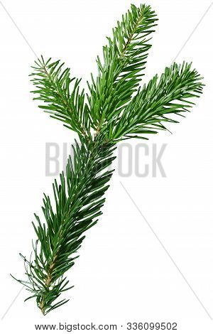 Green Douglas Fir Branch Isolated On White Background