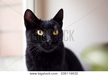 Black Shorthair Cat Looking In Window In Veterinary Clinic. Cat Looking For Home. Homeless Black Cat