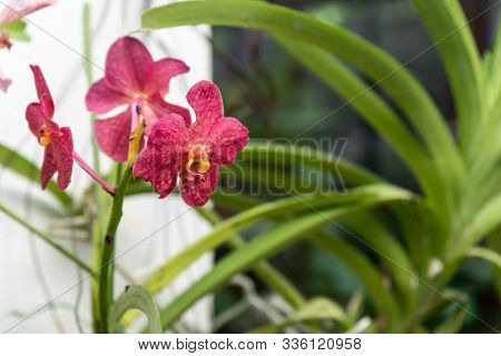 Phalaenopsis Or Moth Dendrobium Orchid Flower. Ruby Orchids Isolated On Blur Background. Butterfly O