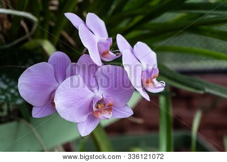 Phalaenopsis Or Moth Dendrobium Orchid Flower. Purple Orchids Isolated On Blur Background. Butterfly