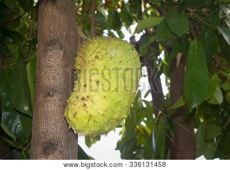 Buah sirsak. Soursop (also graviola, guyabano, and in Latin America, guanábana) is the fruit of Annona muricata, a broadleaf, flowering, evergreen tree.