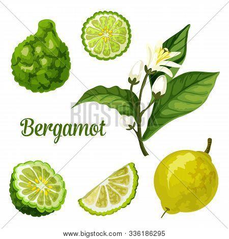 Bergamot Orange Fruit Vector Botanical Illustration Of Whole And Cut Slice Fruits With Blossom. Berg