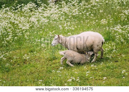 Norway. Domestic Mother Sheep Feeds Lambs With Breast Milk. Lambs Suck Sheep S Mother S Milk. Sheep