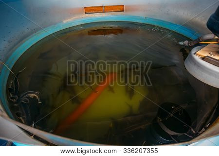 Sturgeon Fry In Round Blue Plastic Tank With Aeration At Sturgeon Fish Farm