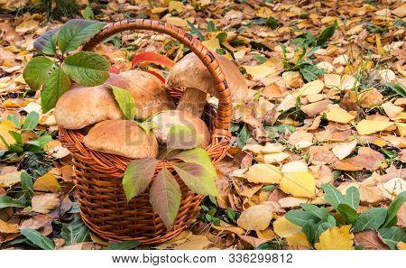 Basket Full Of Large Wild Eatable Penny Bun Mushrooms, Known As Porchini Or Boletus Edulis. Autumn B