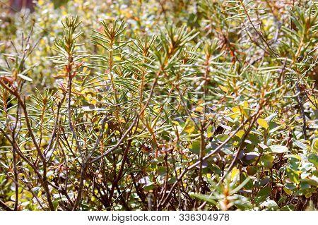 Branches Of Marsh Marsh, Ledum Labrador Plant Grows In The Marsh