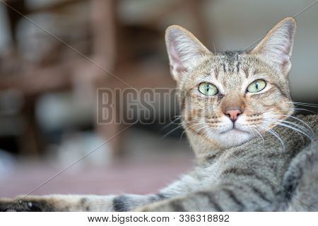 Portrait Of Striped Cat, Close Up Thai Cat, Close Relax Cat