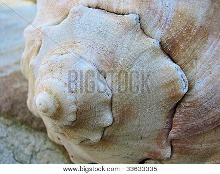 Seashell Closeup