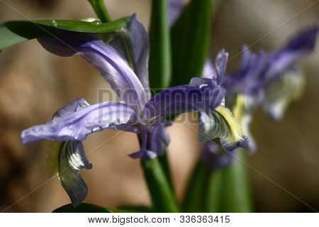 Gentle Blue With Yellow Juno Flowers On Green Stalks With Green Leaves. On Petals And Leaves There A