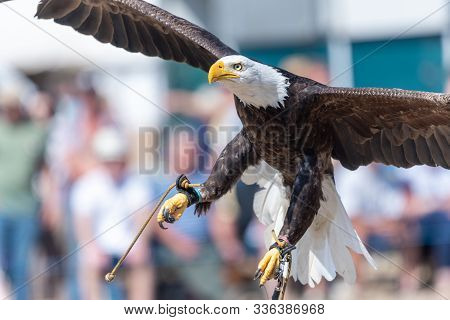 Close Up Of A Bald Eagle (haliaeetus Leucocephalus) Flying Infront Of A Crowd Of People In A Falconr