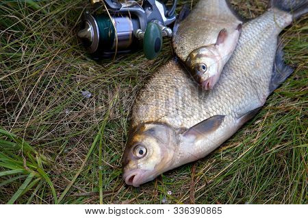 Successful Fishing -  Two Freshwater Bream Fish And Fishing Rod With Reel On Natural Background..