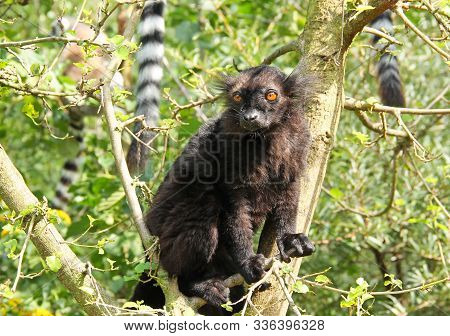 Fluffy Black Lemur (eulemur Macaco) Sitting On The Branch Of Tree