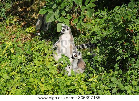 Cute Ring-tailed Lemurs (lemur Catta) Sitting Together In The Green Vegetation