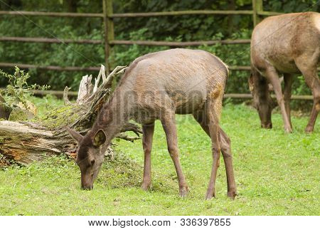 Wapiti Deer (cervus Canadensis) Grazing On The Grass