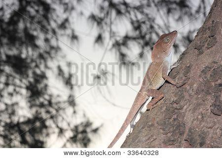common small brown lizard