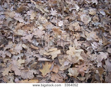 Dry Oak Leaves Texture