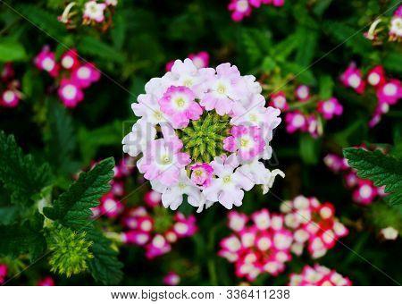 Beautiful Blooming Pink White Verbena Hybrida, Know As Purpletop Or Argentinian Vervain, Verbena Ten