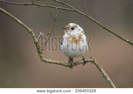 A Nearly All White Robin Perched On A Branch Looking Left. It Is Leucistic Robin. A This Bird Lacks