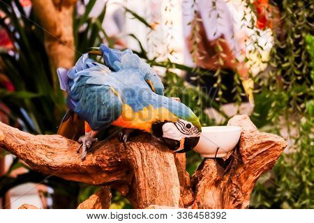 Blue And Gold Macaw (ara Ararauna) Is Standing On The Tree Branch And Eating Food.