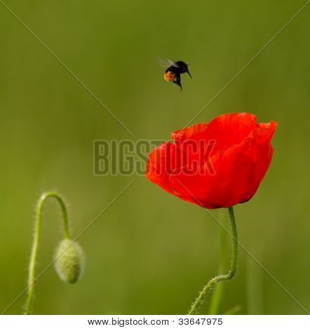 red poppy and bumble bee