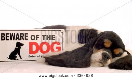 tri color american cocker spaniel sleeping with beware of dog sign poster