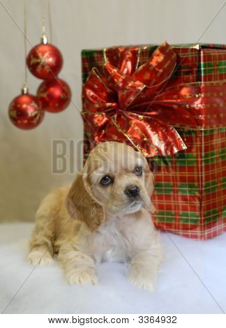american cocker spaniel puppy with christmas present - champion bloodlines poster