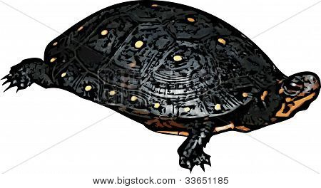 Spotted Turtle Illustration