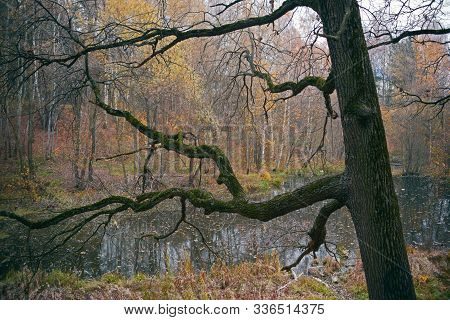 Old Oak With Moss-covered Branches In An Old Autumn Park