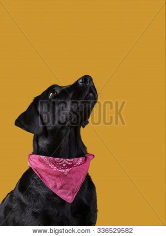 Black Labrador Dog With Neckerchief Looking Up On Yellow Background