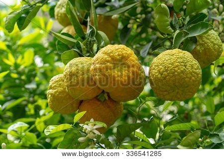 Citrus Fruits Of Sour Orange Bergamot Riping On Thee