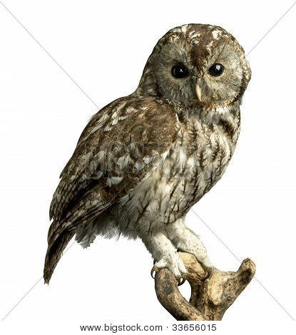 Owl On A Perch With Clipping Path
