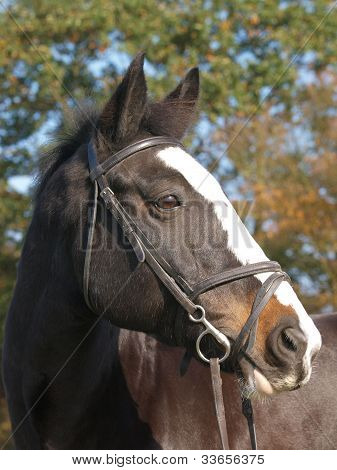 Horse In Bridle Head Shot