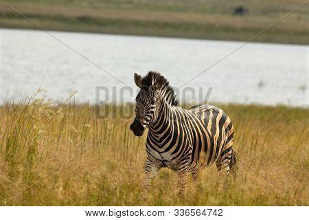 A Mountain Zebra (equus Zebra) In Grassland With Dry Grass In Background. Young Zebra In Pilanesberg