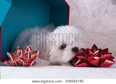 Adorable Two Months White Shih Tzu Puppy Dog