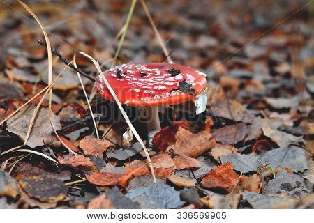 Poisonous Inedible Toxic Mushroom Fly Agaric In The Natural Environment, Autumn Forest, Green Moss,
