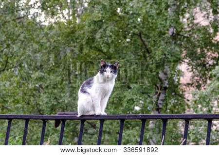 Street Cat Light Coloring, On The Fence Peacefully Watching As The Photographer Approaches