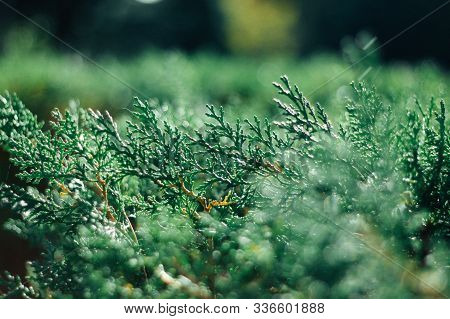 Background Of Green Cypress Foliage. Sprigs Of Cypress Close-up. Green Branches Of Cypress And Natur