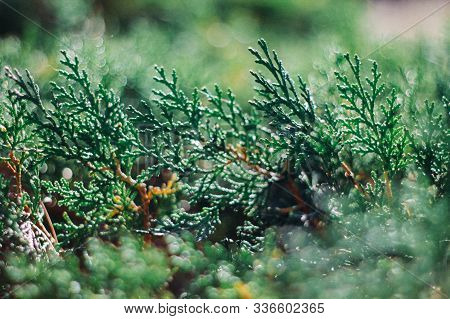 Green Branches Of Cypress And Natural Background. Background Of Green Cypress Foliage. Sprigs Of Cyp