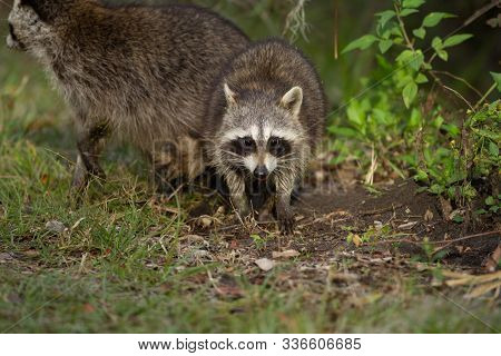A Curious Young Racoon Keeps A Wary Eye While Sticking Close To It's Mother.