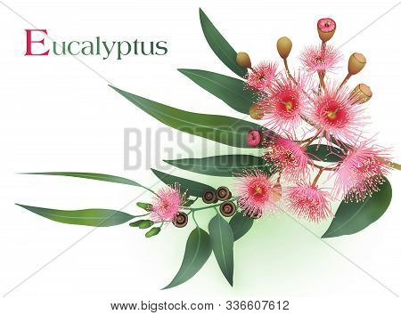 Flowering Eucalyptus Branch On A White Background