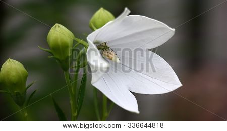 It Is Dazzling A White Flower Of A Platycodon Grandiflorus Near Unsolved Greenish Buds On Darkly Gre