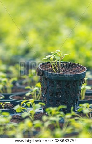 Rucola Hydroponic Farm. Young Rucola Plants, Young Rockets, Rucola Sprouts, Spring Seedlings.healthy