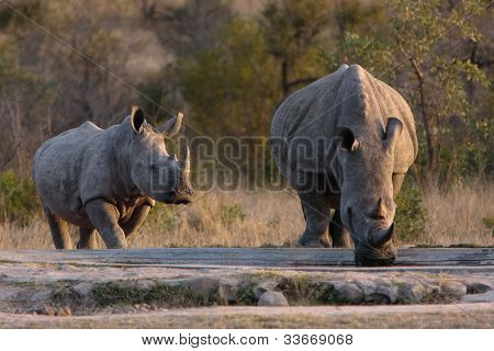 White rhino and calf at waterhole in Kruger National Park poster