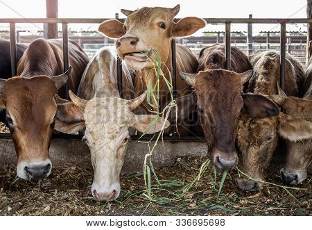 The Cows In Farm Stock Eating Green Grasses From Farmer Feeding, Agricultural And Live Stock Concept