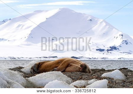 Sleeping adult walrus, odobenus rosmarus, in Svalbard, Norway. This large adult has hauled out onto the icy beach and is against a backdrop of the arctic waters and pristine snow covered mountains.