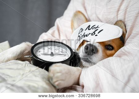 Cute Red And White Corgi Sleeps On The Bed On Its Back With Alarm Clock In Paws. Head On The Pillow,