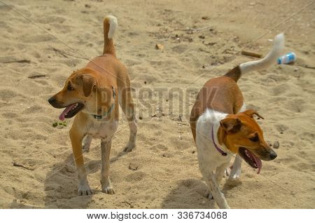 Canine Mates. Two Attractive Fit Healthy Happy Dogs Together Roaming On A Seaside Tropical Sandy Bea