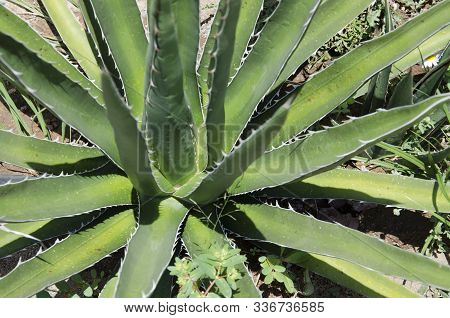 Agave Kerchovei, Beautiful Mexican Desert Plant With Spiny Green Leaves