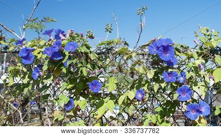Beauty In Nature Image. Pretty Blue Climbing Flower Closeup In Full Bloom. Australia.